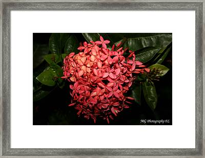 Framed Print featuring the photograph  Ixora Night  by Marty Gayler