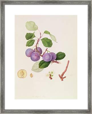 La Royale Plum Framed Print by William Hooker