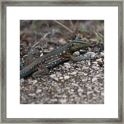 Laurent's Whiptail Framed Print by Vessela Banzourkova