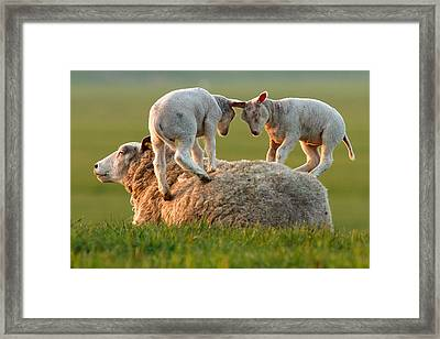 Leap Sheeping Lambs Framed Print by Roeselien Raimond