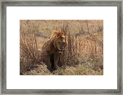 Lions Of The Ngorongoro Crater Framed Print