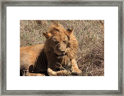 Lions Of The Ngorongoro Crater - Tanzania Framed Print