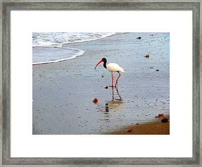 Lone Ibis Framed Print