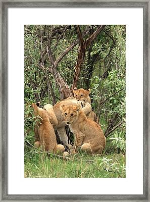 Masai Mara Lion Cubs Framed Print