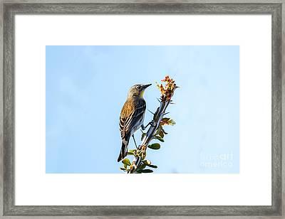 Migrating Warbler Framed Print by Robert Bales