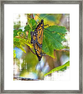 Monarch Butterflies Coupled In Their Mating Ritual  Framed Print by Constantine Gregory