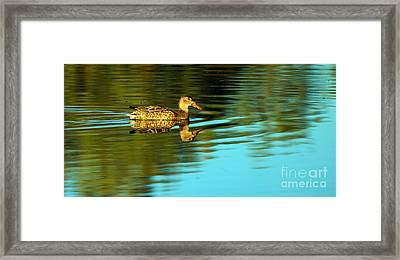Northern Shoveler Duck Framed Print by Robert Bales