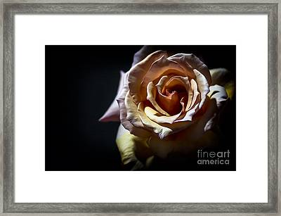 Painted Rose Framed Print by Holly Martin