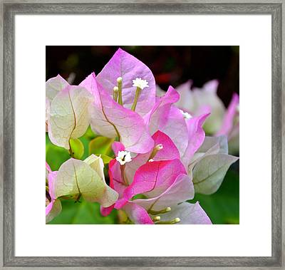 Pink  Bougainvillea ...with A Friend Framed Print by Lehua Pekelo-Stearns