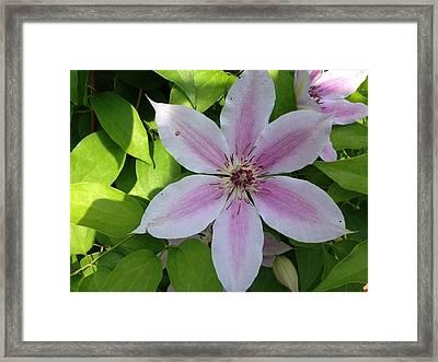 Pink Clematis  Framed Print