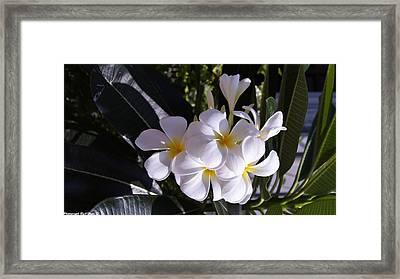 Plumeria  Framed Print by Gornganogphatchara Kalapun