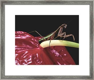 Praying Mantis  Walking On An Anthurium Flower  Framed Print