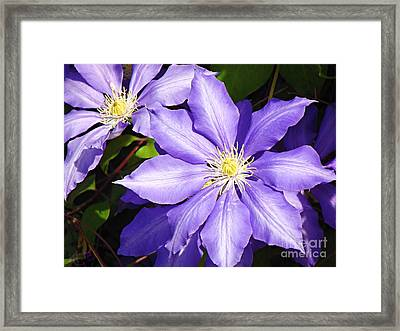 Pretty Purple Clematis Framed Print