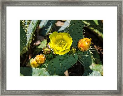 Prickly Pear Cactus And Flowers Framed Print by Chris Flees
