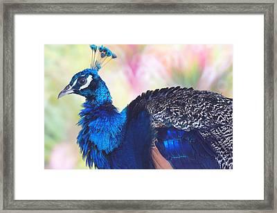 Prime Peacock Framed Print by DerekTXFactor Creative