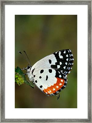 Red Pierrot Butterfly Framed Print by Anonymous