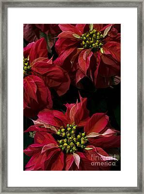 Red Poinsettias Flowers Framed Print
