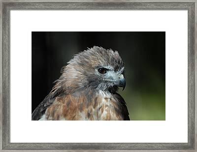 Red Shouldered Hawk 300 Framed Print by Joyce StJames