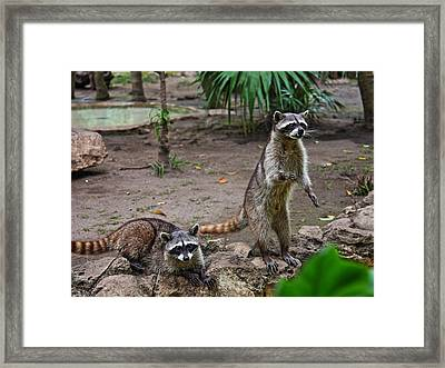Rocky Raccoon With His Friend Fang Framed Print