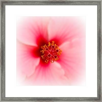 Rose Mallow Framed Print