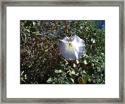 Sacred Datura Framed Print by Angela J Wright
