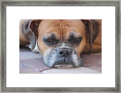 Sad Boxer Framed Print by John Greco
