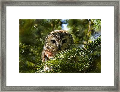 Saw-whet Owl Pictures  5 Framed Print