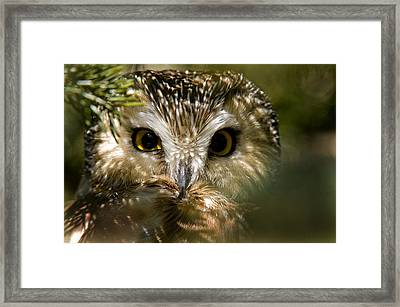 Saw-whet Owl Pictures  6 Framed Print