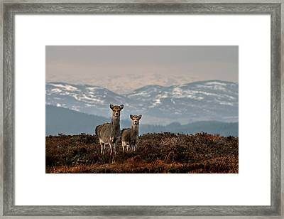 Sika Deer Framed Print