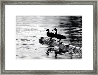 Silhouetted Ducks Framed Print