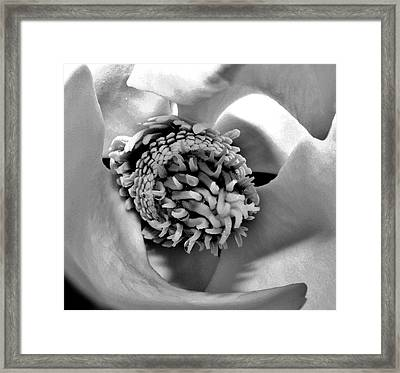 Sugar Of Magnolia Framed Print