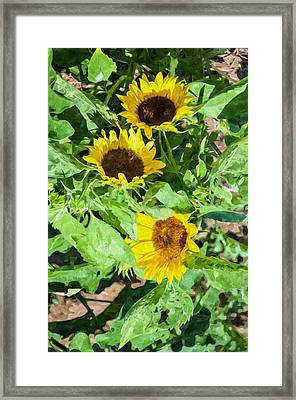 Sunflowers  Framed Print by Lanjee Chee