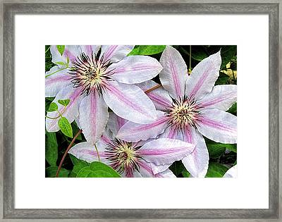 Three Clematis Framed Print by Monnie Ryan