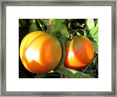 Framed Print featuring the photograph  Vine Ripe Tomatoes by Tina M Wenger