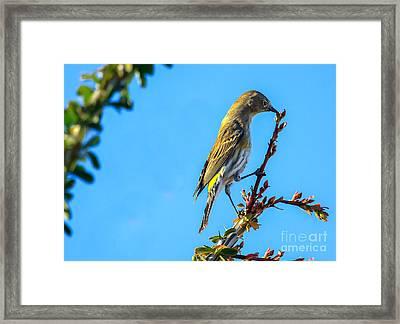 Yellow-rumped Warbler Framed Print