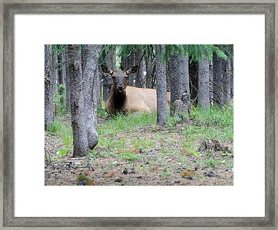 Yellowstone Park Elk  Framed Print by Larry Stolle