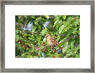 Young Female Cardnal Framed Print