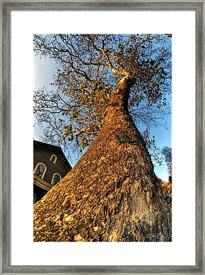 001 Oldest Tree Believed To Be Here In The Q.c. Series Framed Print by Michael Frank Jr