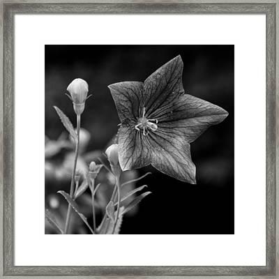 04 Balloon Flower Framed Print