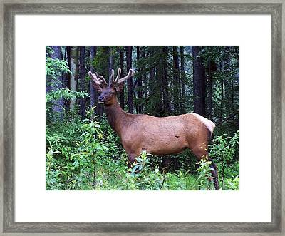 062505 Elk In Velvet Framed Print