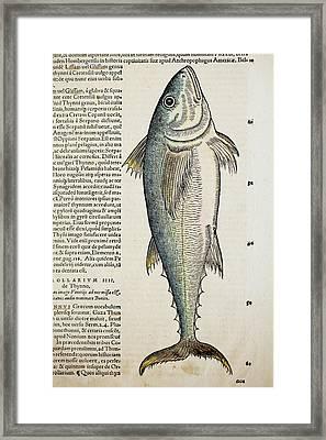 1560 Gesner Medditeranean Bluefin Tuna Framed Print