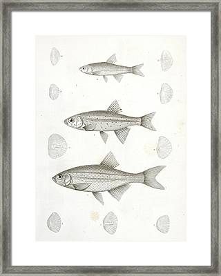 1-4. Richardsonius Balleatus Framed Print