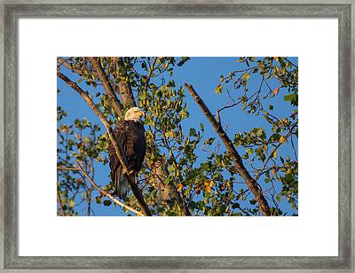 A Bald Eagle, Haliaeetus Leucocephalus Framed Print by Kent Kobersteen