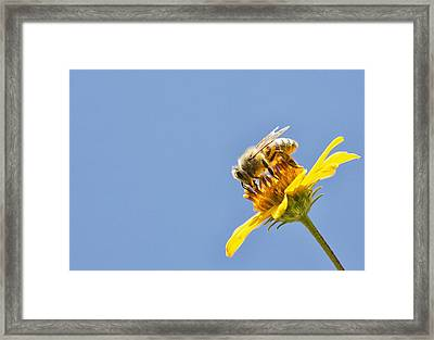 A Bee Is Busy Pollenating Flowers Framed Print by Robert Postma