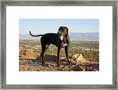 A Black German Shorthaired Pointer Framed Print