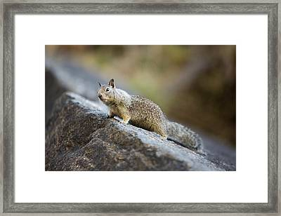 A Californian Ground Squirrel Framed Print by Ashley Cooper