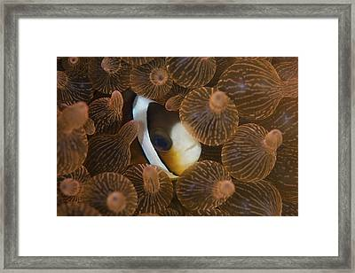 A Clarks Anemonefish Nuggles Framed Print