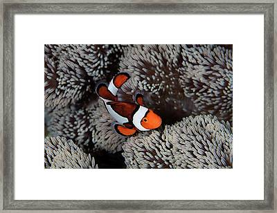 A Clownfish Swims Among The Tentacles Framed Print by Ethan Daniels