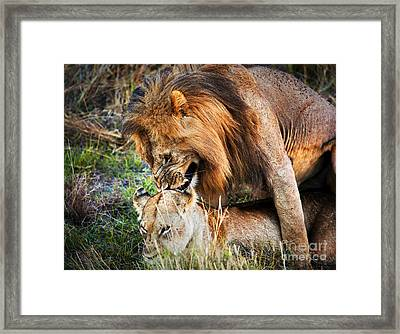 A Couple Of Lions Breed On Savanna Serengeti. Tanzania. Africa Framed Print