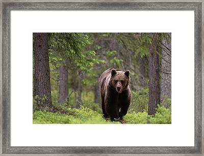 A European Brown Bear, Ursus Arctos Framed Print by Sergio Pitamitz